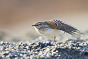 New Zealand Pipit, Glenorchy, New Zealand