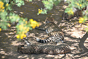 Two Cheetahs lying in the shade. Photographed in South Africa