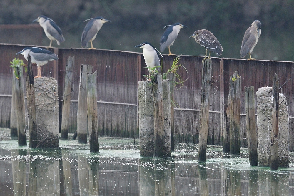 A group of Black-crowned Night Heron, Nycticorax nycticorax, sitting on poles in East Lake Greenway park, Wuhan, Hubei, China