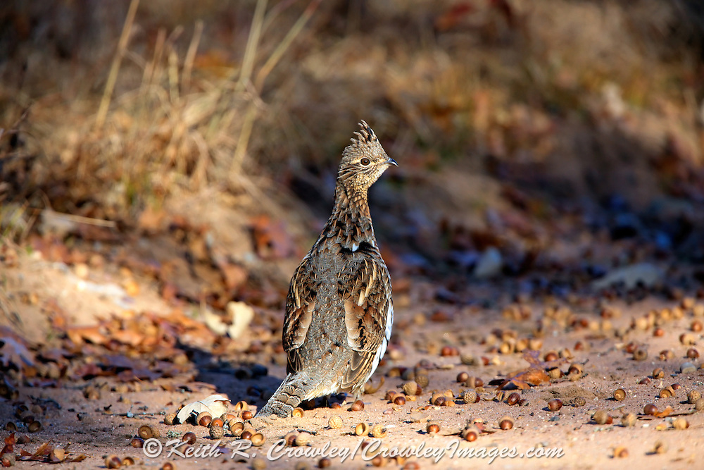 Ruffed grouse among acorns on rural road