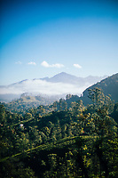 Ella, Sri Lanka -- February 2, 2018: Tea plantations and mountains in hill country.