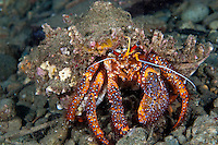 Big hermit crabs are common around Laha, Ambon, because of the large amount of fish waste thrown overboard by the fishermen.