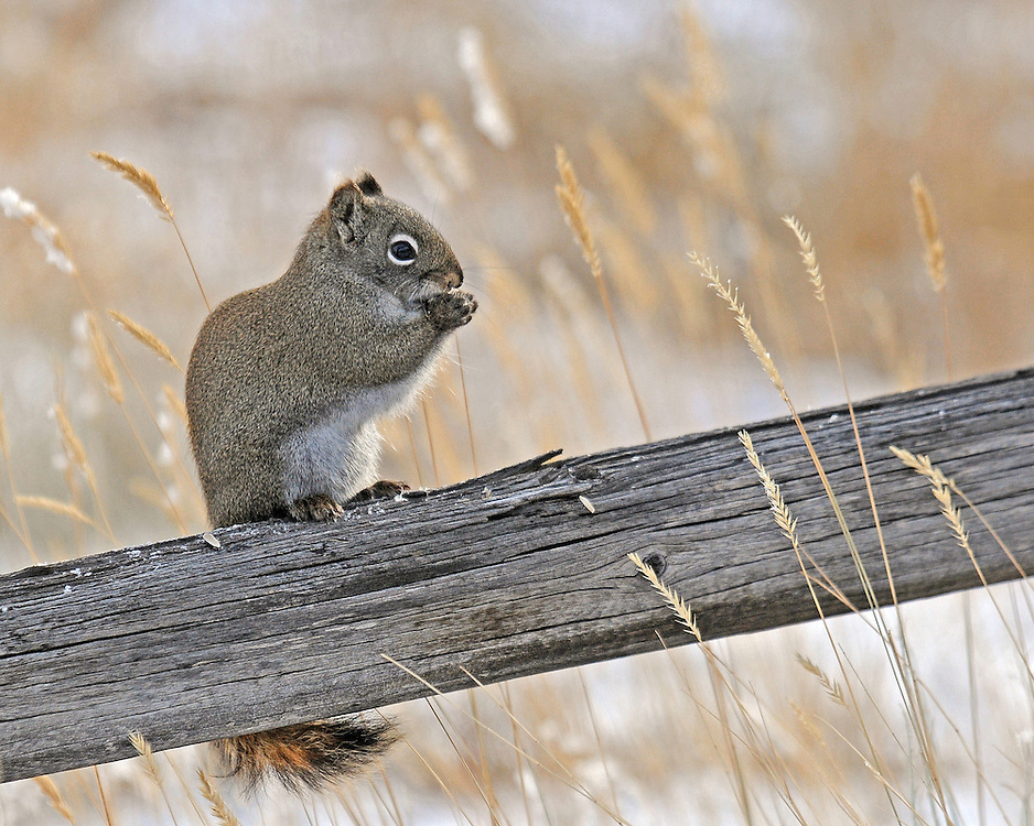 The industrious red squirrel spends the daytime hours gathering and storing food. The squirrel remains active throughout the winter, except during extremely cold weather when it retreats to its nest.