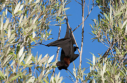 A flying fox in the mangroves in Doubtful Bay.