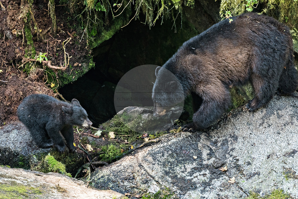 An American black bear sow checks on her cubs in the temperate rain forest at Anan Creek in the Tongass National Forest, Alaska. Anan Creek is one of the most prolific salmon runs in Alaska and dozens of black and brown bears gather yearly to feast on the spawning salmon.
