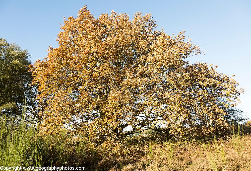 Quercus Robur English oak, heathland autumn, Shottisham, Suffolk, England, UK
