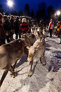 Reindeer roundup at Vuomaselkä, Lapland, where semi-domesticated deer are sorted and seperated for breeding, slaughter, returned to their owners, injected for parasites, or released back into the forest.