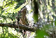 Goshawk - Accipiter gentilis - juvenile