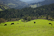 grazing black cows on the bright green spring grass in far northern california in the redwoods