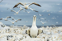 Cape Gannet perched on a rock as numerous others fly around it, Malgas Island, Western Cape, South Africa