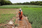 """Shardaben walks along the trench in the agricultural land that she leased for 5 years with the money she got from surrogacy...Shardaben Kantiben, 31; Husband is Kantibhai Motibhai (37).3 children --- 2 girls -  Usha(15) and Lakshmi (18, in pink); 1 boy, Chintan (17).- Education costs for all three come to Rs. 15,000 per year.- Shardaben was a two-time surrogate. First time she gave birth to twin girls for a Taiwanese couple and the second time a boy for an Indian couple from America (photo on TV set because she's proud that it was a boy).- The second time she became emotional and they got a gold ring of Rs. 1,500 made for the boy, which they presented to the biological parents. They are not in touch with either couple..- From the two surrogacies, they earned a little over 700,000rupees..-200,000rupees will be given as dowry for Lakshmi's wedding..- They leased agricultural land (Rs. 2 lakhs for five years) which earns them Rs. 60,000-70,000 a year; they bought two buffaloes worth Rs. 60,000 and make almost 6000-7000 per month selling milk; they bought a motorbike for Rs. 25,000; they put some money into house repairs and the construction of toilets, and opened a fixed deposit in Shardaben's name for Rs. 1.5 lakh and one in the name of their son, Chintan, for Rs. 25,000..Quotes..""""Everyone says they'll keep in touch and take down addresses and phone numbers but nobody looks back. And I guess it works well. Our main interest was in the money. Their main interest is in the baby."""" - KantiBhai.""""Their rules apply at the surrogate house. It does curtail the freedom. When I used to go, everybody would just be lying. They count the days when they can go back."""" - Kantibhai.""""Ours is natural birth but surrogacy is a man-made pregnancy. There's a lot of risk. She must have taken at least 300 injections."""" - Kantibhai of his wife...The Akanksha Infertility Clinic is known internationally for its surrogacy program and currently has over a hundred surrogate mothers pregnant in their"""