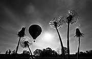 Dandelions frame a hot air balloon as it rises just after dawn in Ottawa, Ont. (1982)