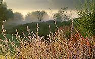 Perennial border, Perovskia 'Blue Spire', grasses, persicaria, mist, design: Piet Oudolf