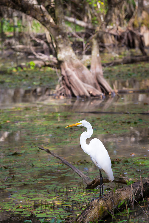 Great Egret standing in river in the Florida Everglades, United States of America