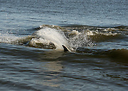 A bottle nose dolphin in the surf off a Jekyll Island beach, chasing fish