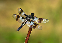 Eight-spotted Skimmer (Libellula forensis), Dragonfly on rose stem   Photo: Peter Llewellyn