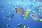 A school of Razor surgeonfish (Prionurus laticlavius) captured during snorkeling at Galapagos   En stim med tropisk fisk fotografert under snorkling på Galapagos ved øya Floreana.