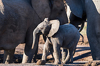 Alarmed African elephant calf, Addo Elephant National Park, Eastern Cape, South Africa