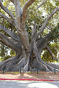 Santa Barbaras Moreton Bay Fig Tree