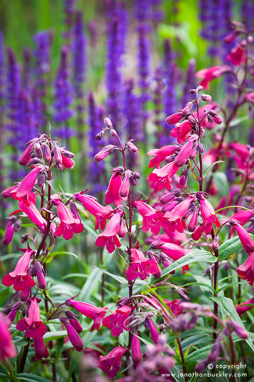 Penstemon 'Garnet' syn. P. 'Andenken an Friedrich Hahn' AGM in front of Salvia nemorosa 'Ostfriesland' AGM syn. Salvia × superba 'East Friesland' (Balkan clary)