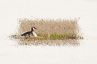 A Canadian goose sits on its nest lined with feathers that is located in salt grass in northern Utah.