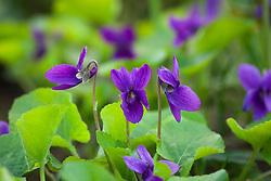 Sweet Violet. Viola odorata