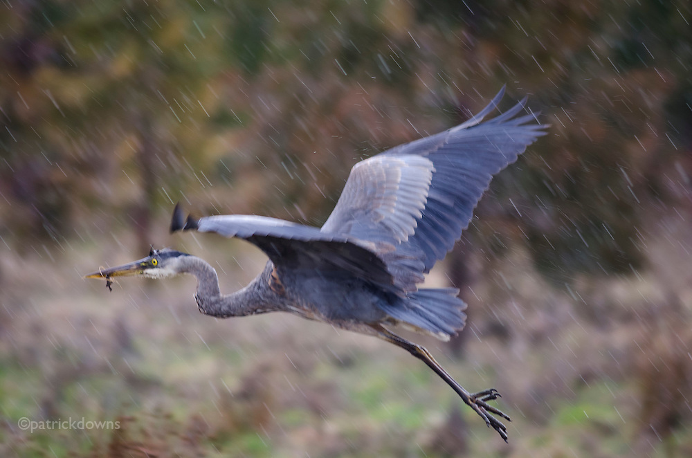 Great blue heron takes off in the rain, while hunting the grassy marsh.