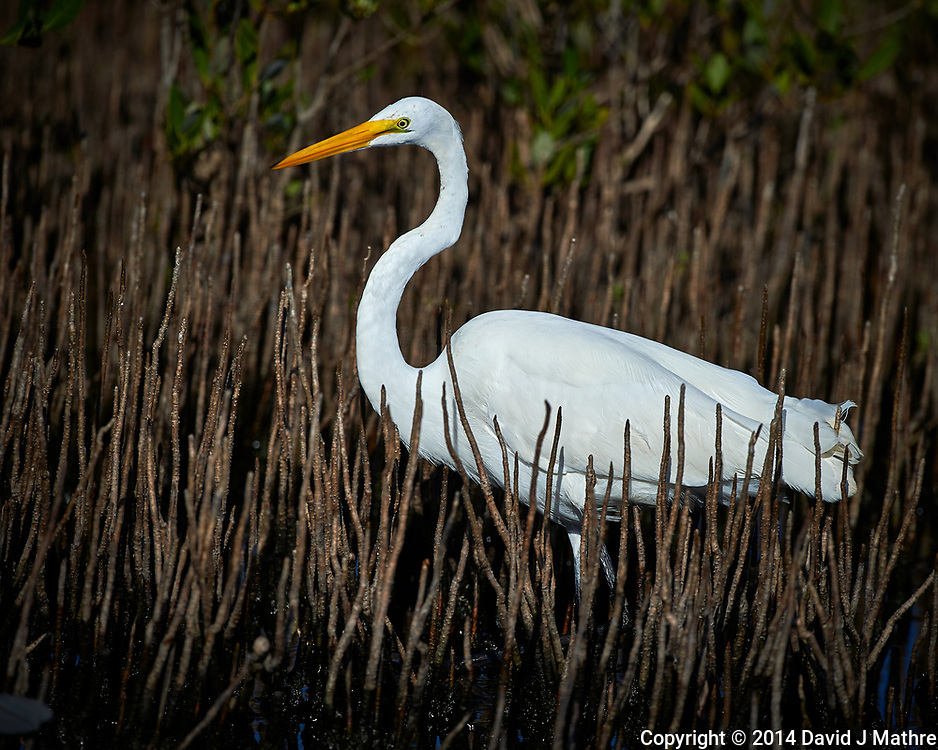 Great Egret. Blackpoint Wildlife Drive, Merritt Island National Wildlife Refuge. Image taken with a Nikon D4 camera and 500 mm f/4 VR lens (ISO 125, 500 mm, f/5.6, 1/4000 sec).