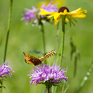 Fritillary butterfly has just landed on a horsemint blossom in a mountain meadow, with a black-eyed Susan in the background. Jemez Mountains, NM. © 2010 David A. Ponton