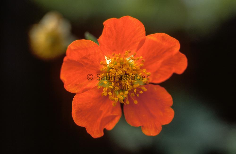 Geum coccineum 'Queen of Orange' - scarlet-flowered avens