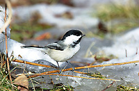 Black-capped Chickadee (Parus atricapillus), Fish Creek Provincial Park, Calgary, Alberta, Canada   Photo: Peter Llewellyn
