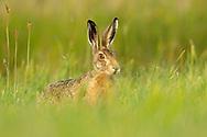 European Hare (Lepus europaeus) adult in grass meadow, South Norfolk, UK. July.