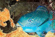 steephead parrotfish, Scarus microrhinos, asleep in mucos cocoon at night, Restorf Island, Kimbe Bay, Papua New Guinea ( Bismarck Sea )