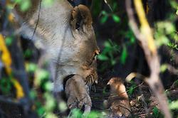 Lioness (Panthera leo) moving her newborn cub in Okavango, Botswana