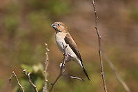 African Silverbill photo Hawaii