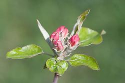 Spring of Apple blossom in Spring,