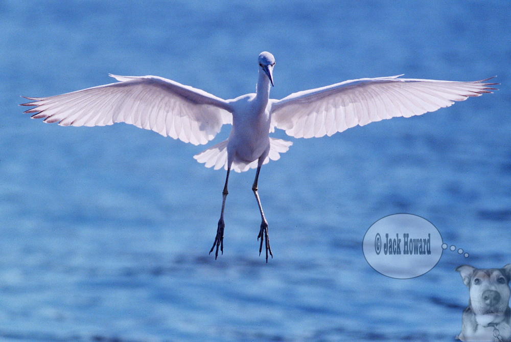 11/29/2002 - Stuart, Florida - ardeidae - egretta rufescens - A Reddish Egret, White Morph comes in for a landing at the municipal dock...JACK HOWARD PHOTOGRAPH