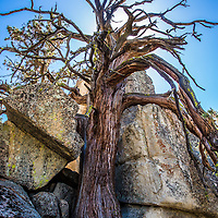 An old tree grows through the rocky face of a hillside in Chimney Creek, CA.