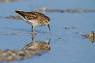 A least sandpiper wades through shallow water, glimpsing his reflection