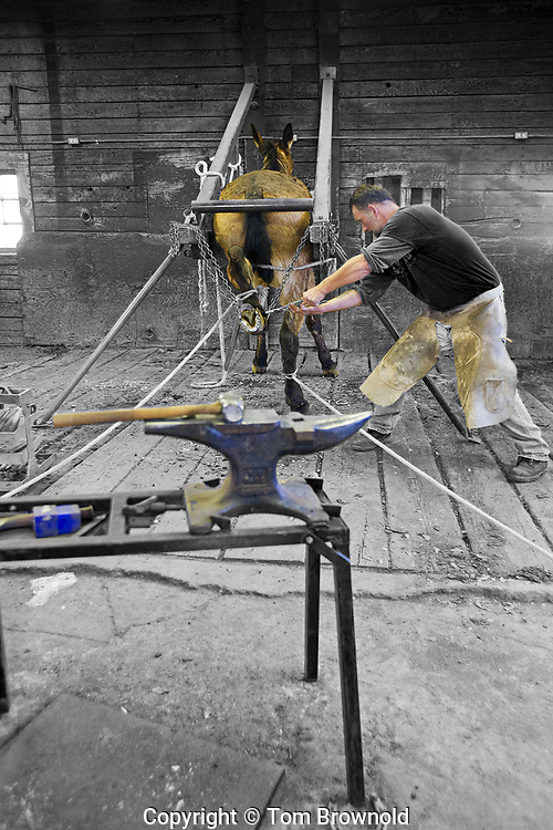 Blacksmith shoing mules in the South Rim Livery Stables using a stock to immobilize the mule to keep it from kicking
