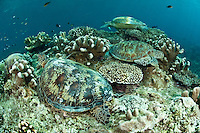 Green turtles resting on a coral bommie, Sipadan, Sabah, Malaysia.