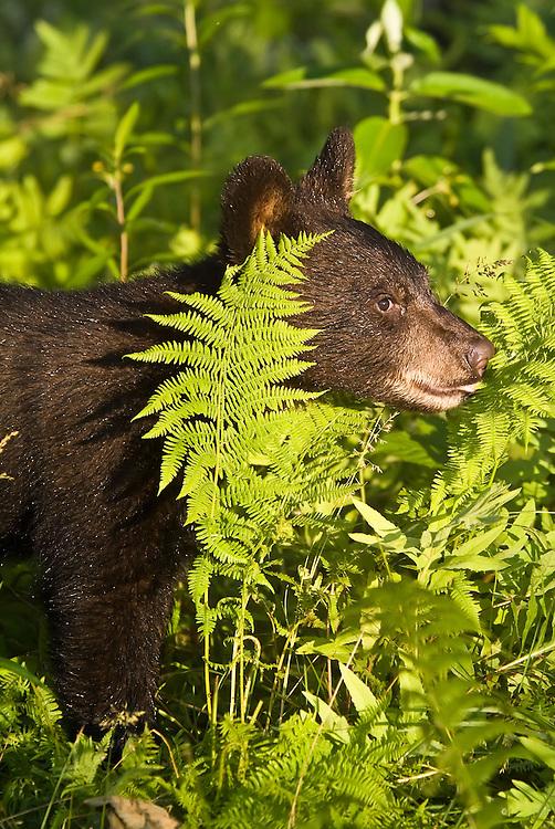 American black bear, Ursus americanus, native to North America.