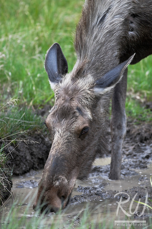 Female Moose (Alces alces) Drinking Rainwater from Puddle, Kootenay National Park, British Columbia, Canada