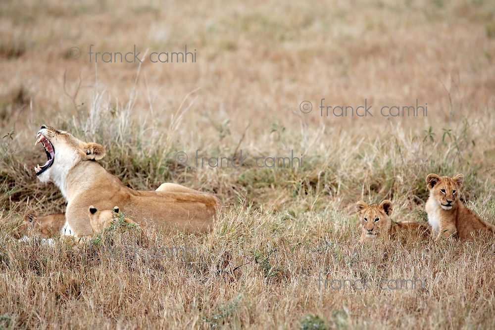 female Lion and lion cub in the Masai Marra reserve in Kenya Africa