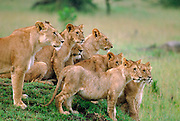 Lion pride, Serengeti National Park Tanzania