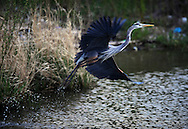 The Great Blue Heron , Ardea herodias, is a wading bird in the heron family Ardeidae, common over most of North and Central America as well as the West Indies and the Galápagos Islands..It is the largest North American heron, with a head-to-tail length of 91?137 cm (36-54 in), a wingspan of 180 cm (71 in), and a weight of 2.2?3.6 kg (4.8-8 lbs). It is blue-gray overall, with black flight feathers, red-brown thighs, and a paired red-brown and black stripe up the flanks; the neck is rusty-gray, with black and white streaking down the front; the head is paler, with a nearly white face, and a pair of black plumes running from just above the eye to the back of the head. The feathers on the lower neck are long and plume-like; it also has plumes on the lower back at the start of the breeding season. The bill is dull yellowish, becoming orange briefly at the start of the breeding season, and the lower legs gray, also becoming orangey at the start of the breeding season. Immature birds are duller in color, with a dull blackish-gray crown, and the flank pattern only weakly defined; they have no plumes, and the bill is dull gray-yellow.