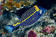 White-spotted boxfish-Poisson coffre pintade (Ostracion meleagris), Nusa Penida island, Bali, Indonesia.