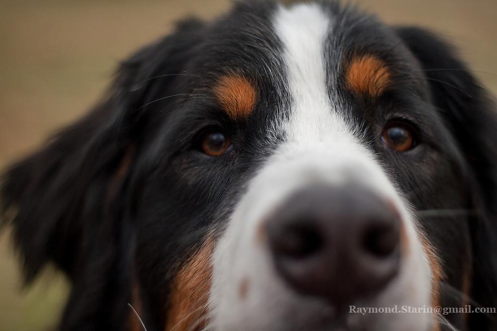 Close up of a Bernese Mountain Dog face