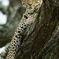 Tanzania, Ngorongoro Conservation Area, Ndutu Plains, Leopard (Panthera pardus) resting in tree branch