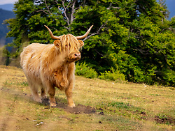 Close-up of Highland cattle on meadow at Auberge du Steinlebach, France